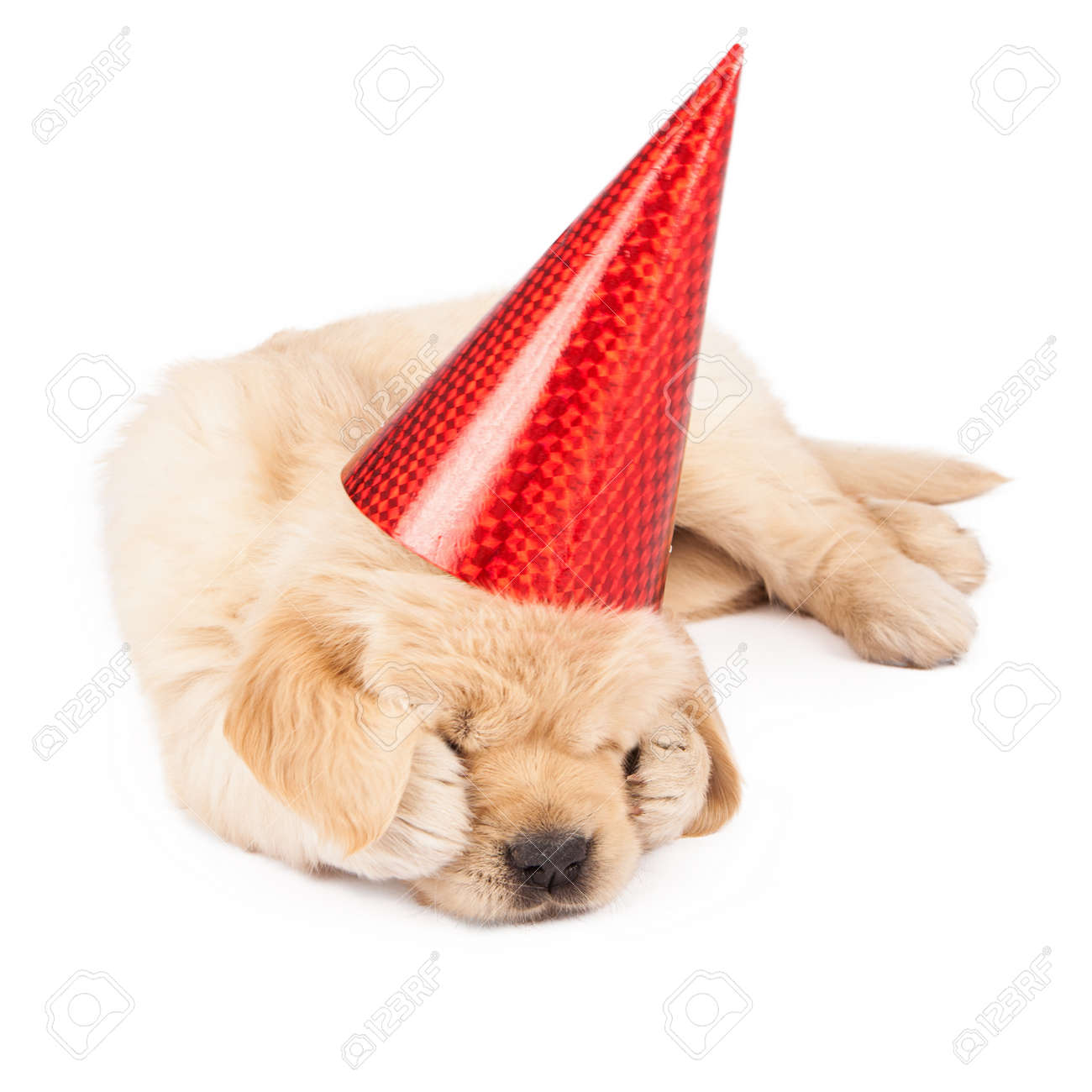 A Cute Little Golden Retriever Puppy Wearing A Red Party Hat Stock