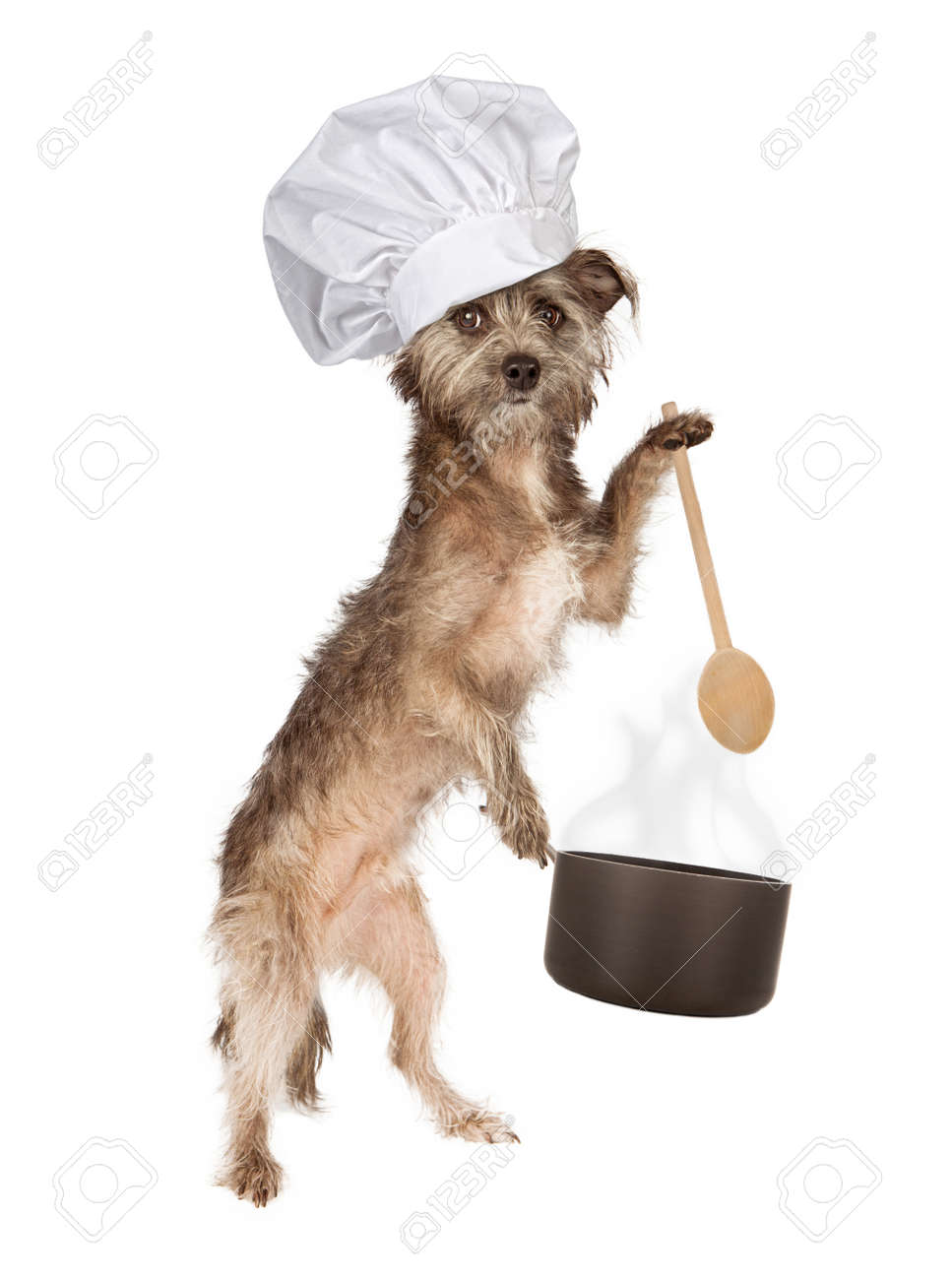 Must see Cairn Terrier Ball Adorable Dog - 27756189-a-cute-cairn-terrier-mixed-breed-dog-wearing-a-chef-hat-while-holding-a-cooking-pot-and-wooden-spoon  2018_57436  .jpg