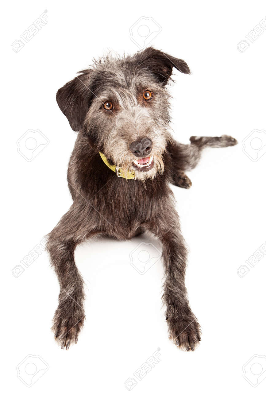 A Cute Adult Schnauzer And Wire Haired Terrier Mixed Breed Dog ...