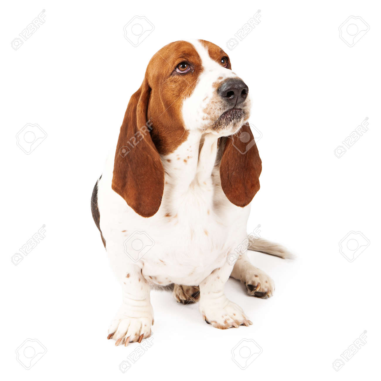 An Upset Basset Hound Dog With A Funny Look On His Face Stock Photo Picture And Royalty Free Image Image 29200303