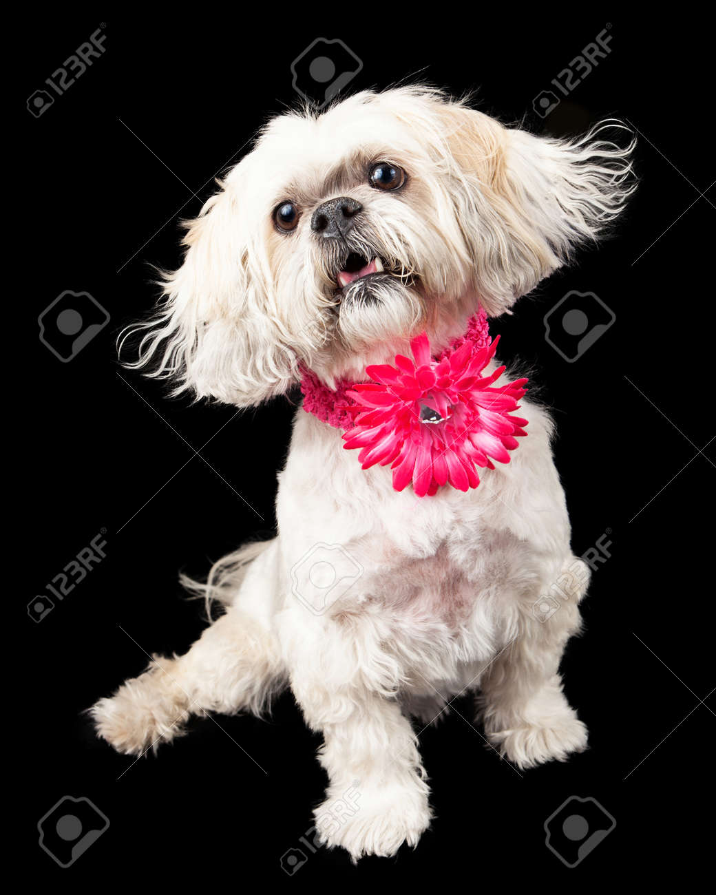 A cute female lhasa apso dog wearing a pink flower collar white a cute female lhasa apso dog wearing a pink flower collar white sitting against a black dhlflorist Choice Image