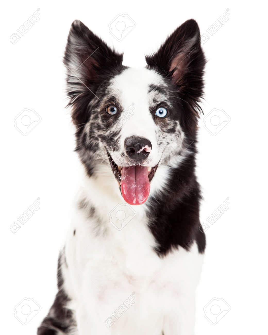 close up of a pretty border collie dog with spotted fur and blue