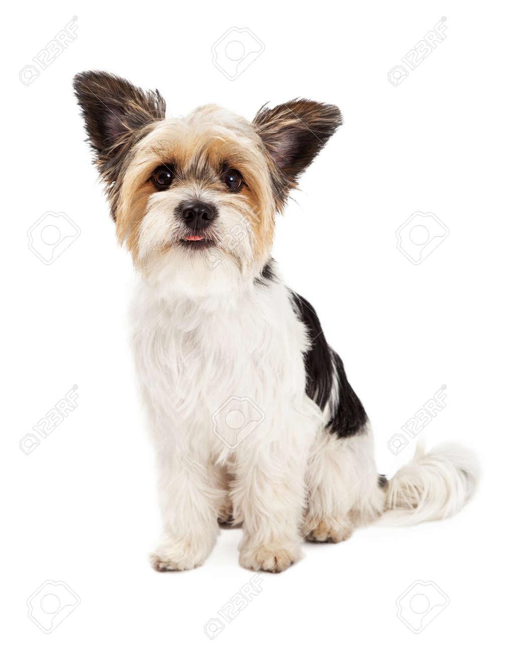 Een Leuke Kleine Yorkshire Terriër En Shih Tzu Gemengd Ras Hond ...