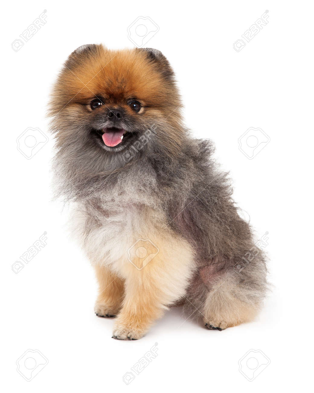 An Attentive Pomeranian Dog Sitting At An Angle With Open Mouth