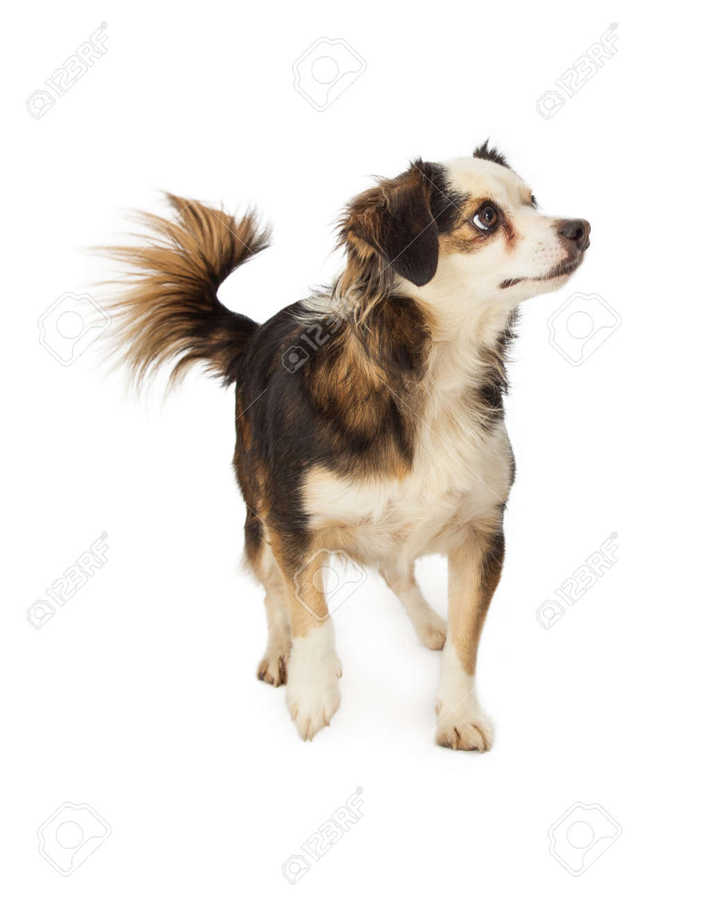 Download Papillon Canine Adorable Dog - 34729456-a-cute-little-chihuahua-papillon-and-terrier-mixed-breed-dog  Perfect Image Reference_861486  .jpg