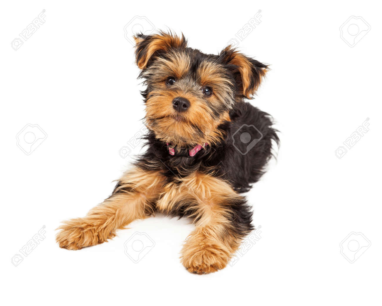 A Cute Little Teacup Yorkie Puppy Dog Laying Down And Looking