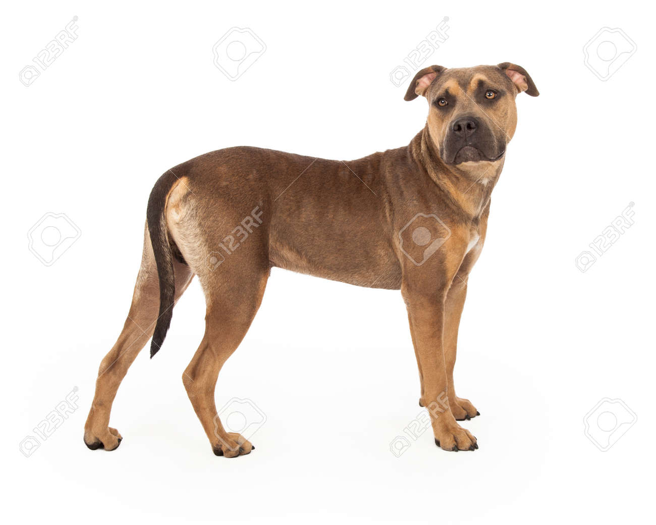 A Curious Staffordshire Bull Terrier Mix Breed Dog Standing With ...