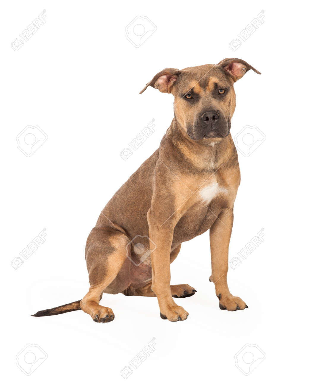 A Well Trained Staffordshire Bull Terrier Mix Breed Dog Sitting