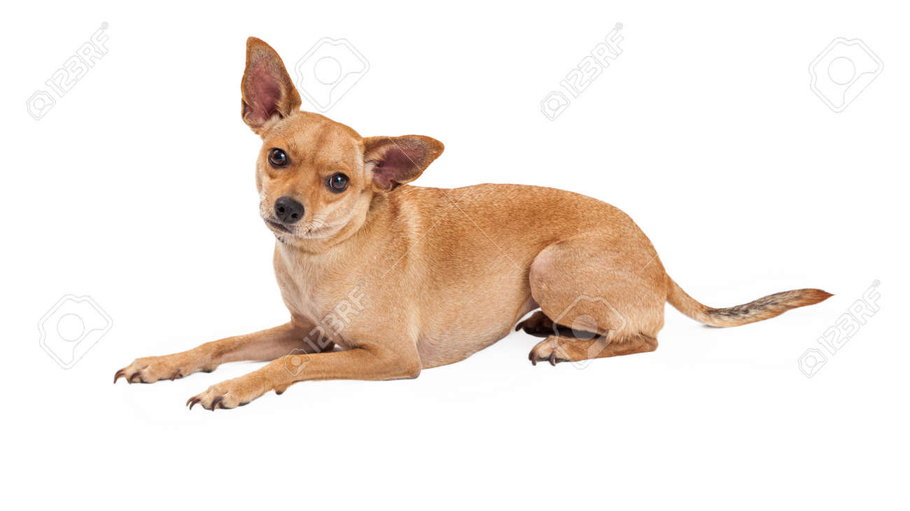 An Attentive Chihuahua Mix Breed Dog Laying While Looking Forward