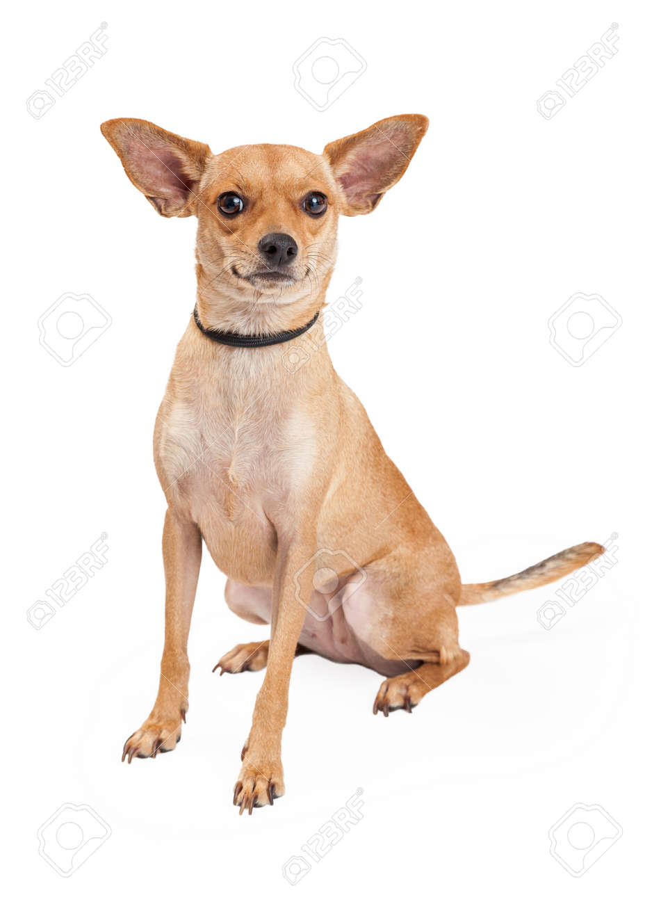 An Attentive Chihuahua Mixed Breed Dog Sitting While Looking Stock