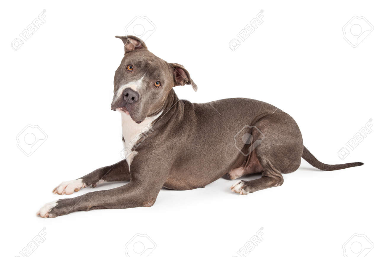 Famosos A Beautiful Blue Coated American Staffordshire Terrier Dog Stock  ZE89