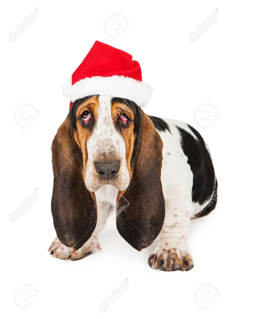 bc19af383de A tired young Basset Hound breed puppy dog with bloodshot droopy eyes  wearing a Christmas Santa