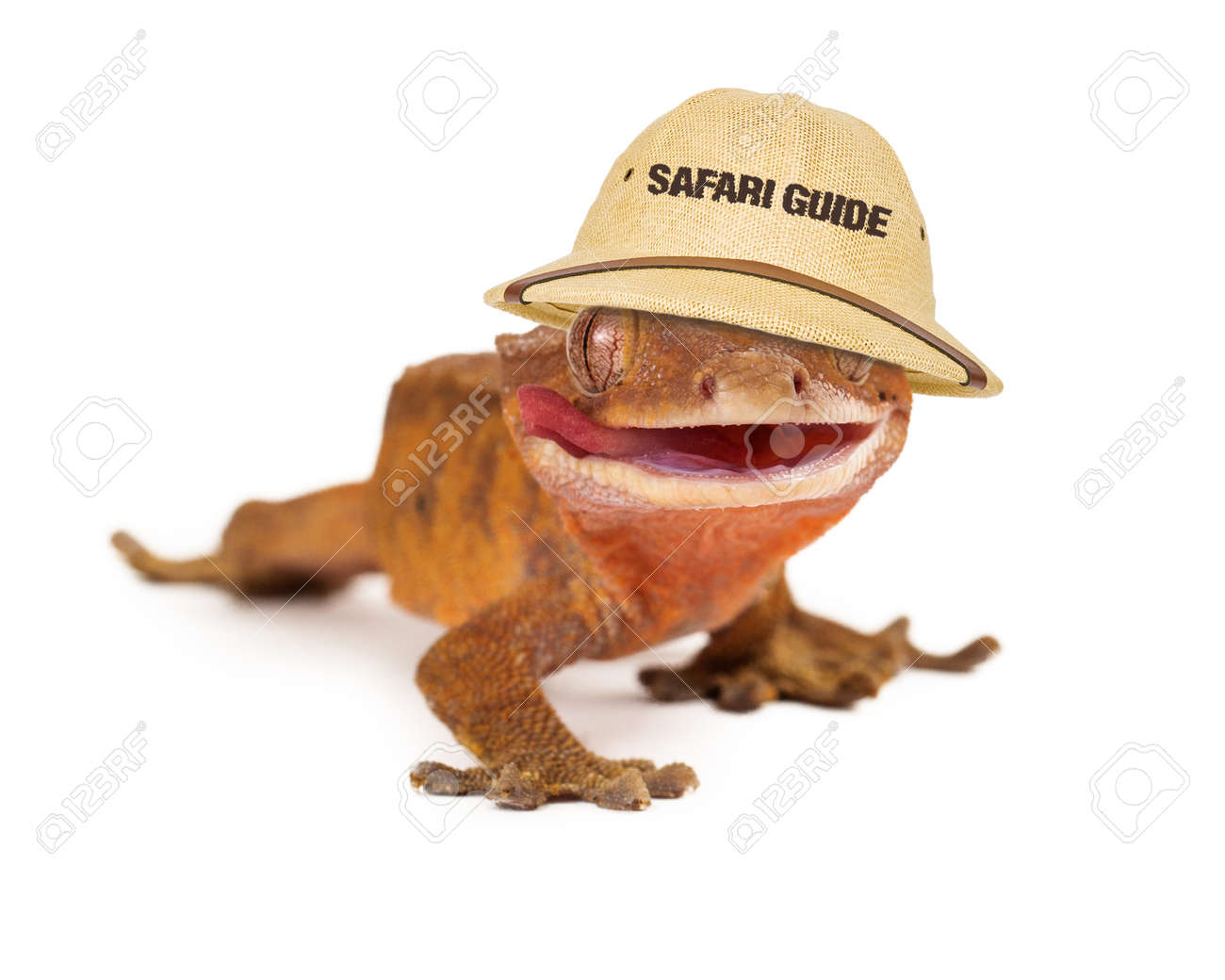 2b8427b1d27 A funny crested gecko wearing a safari guide hat Stock Photo - 36915873