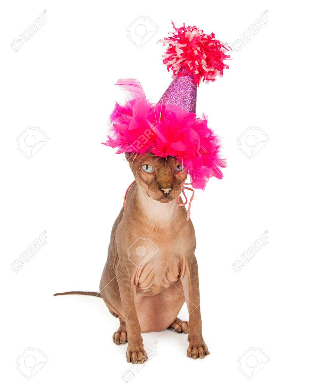 Funny Picture Of A Hairless Sphinx Breed Cat Wearing Fancy Pink Birthday Party Hat Stock