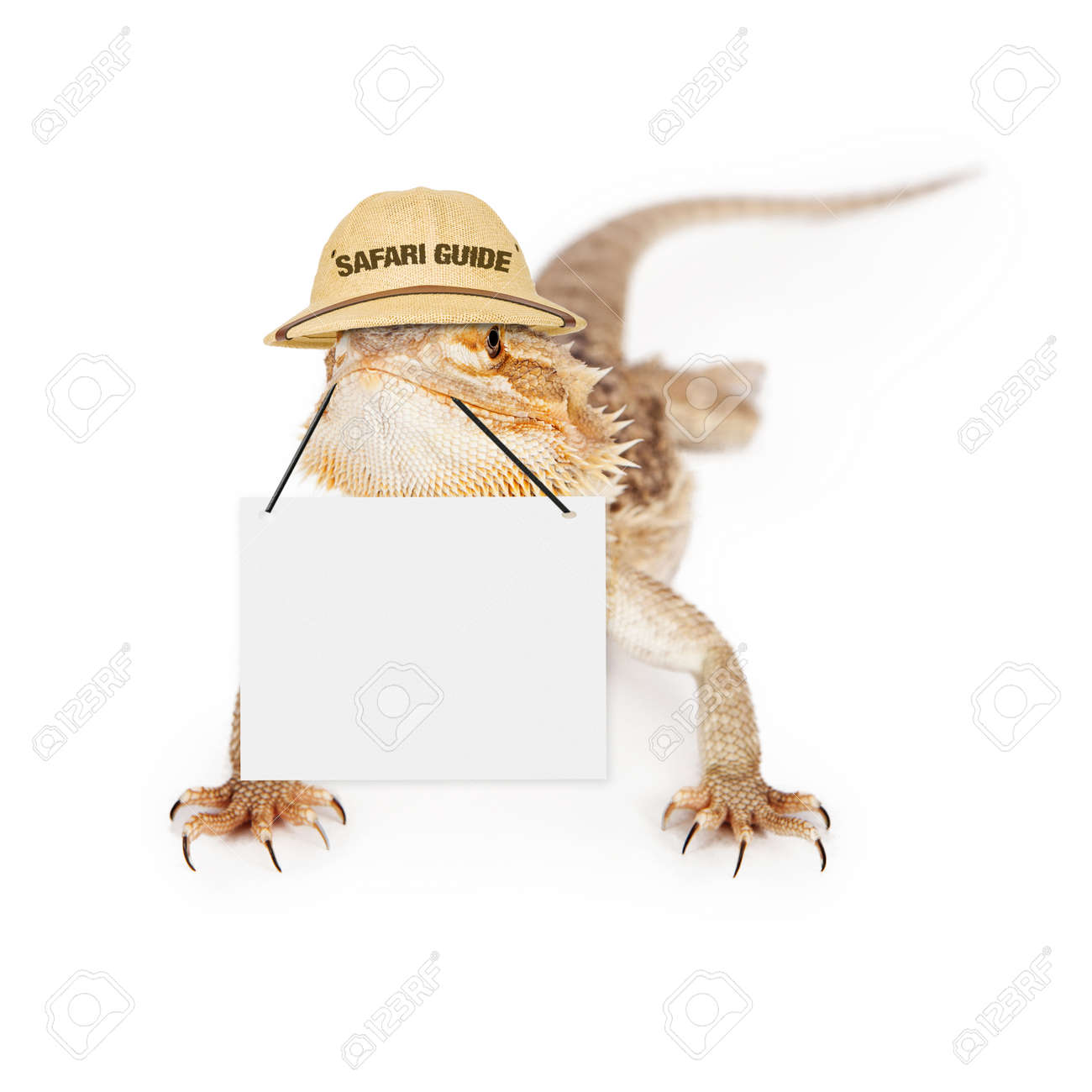 7d8a7cea140 A bearded dragon lizard wearing safari guide hat holding blank sign to  enter marketing message Stock
