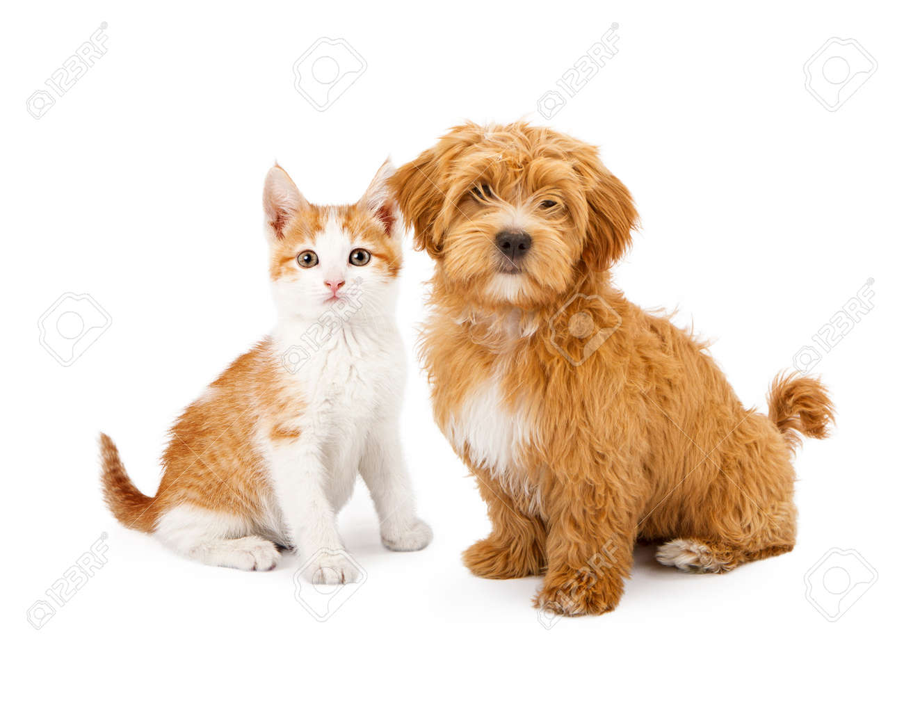 Cat stock photos royalty free business images a cute little havanese puppy and an orange tabby kitten sitting together voltagebd Images