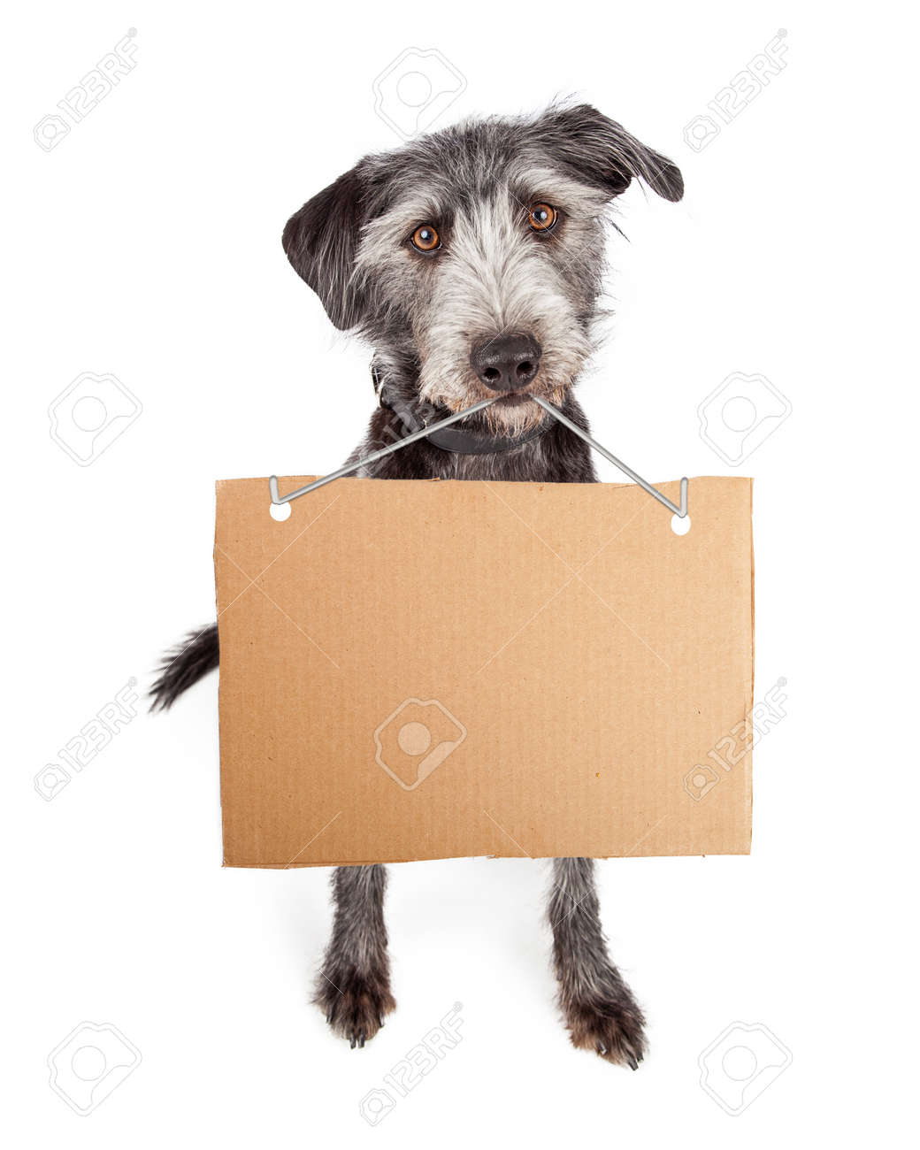 Terrier Mixed Breed With A Blank Cardboard Sign Hanging From.. Stock ...