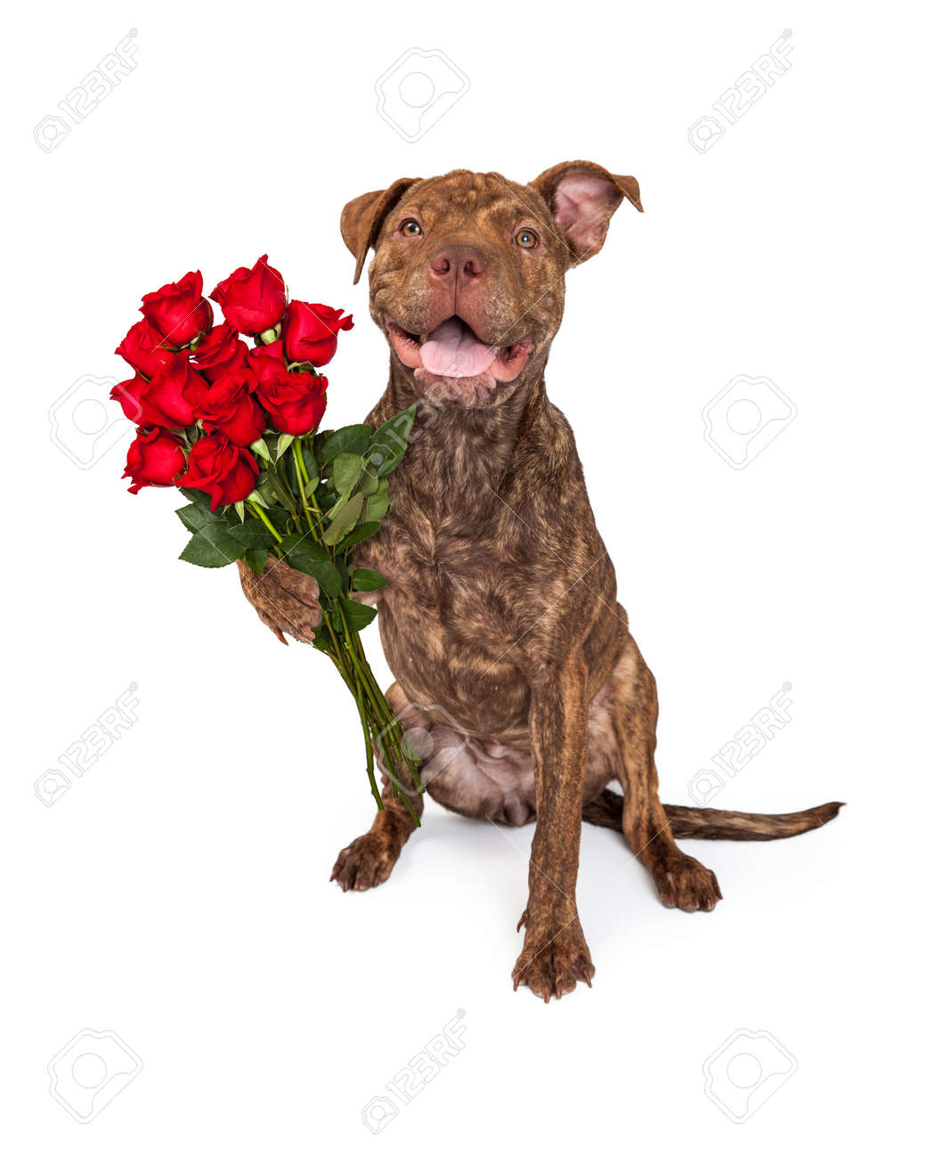 a cute brindle color pit bull and shar pei crossbreed dog holding