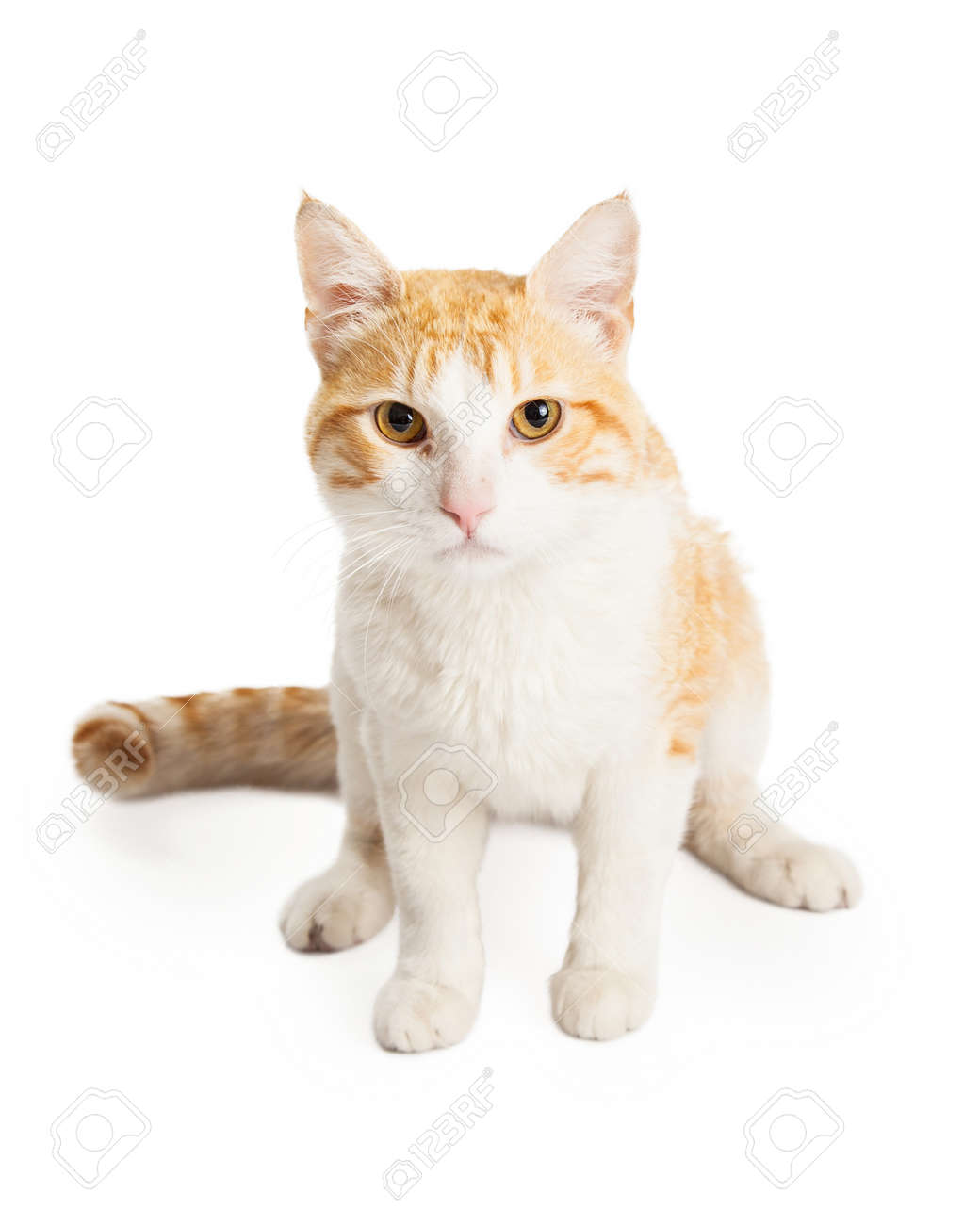 Gato naranja pelo corto