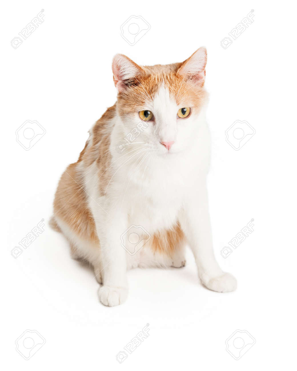 A Beautiful Orange And White Domestic Shorthair Mixed Breed Cat