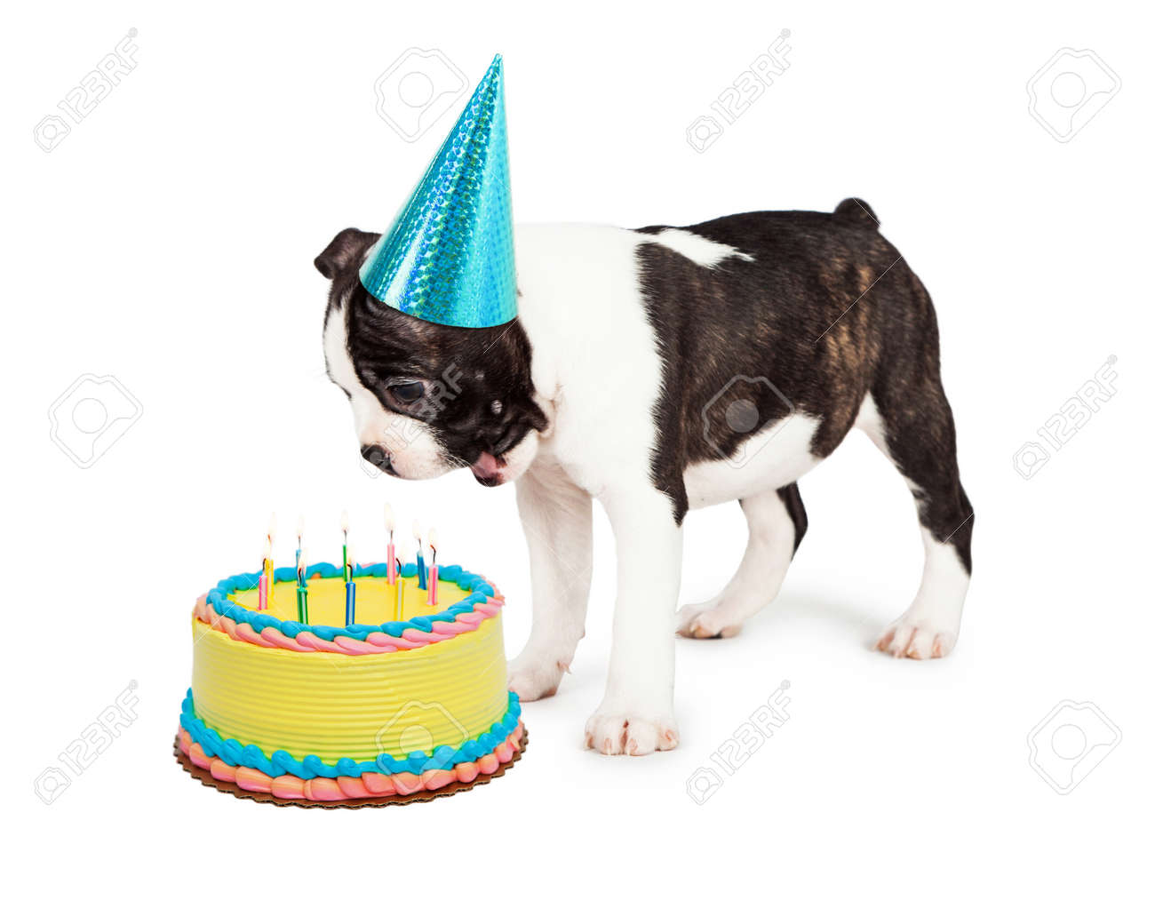 Funny Boston Terrier Puppy With A Happy And Surprised Expression Looking Down At Birthday Cake