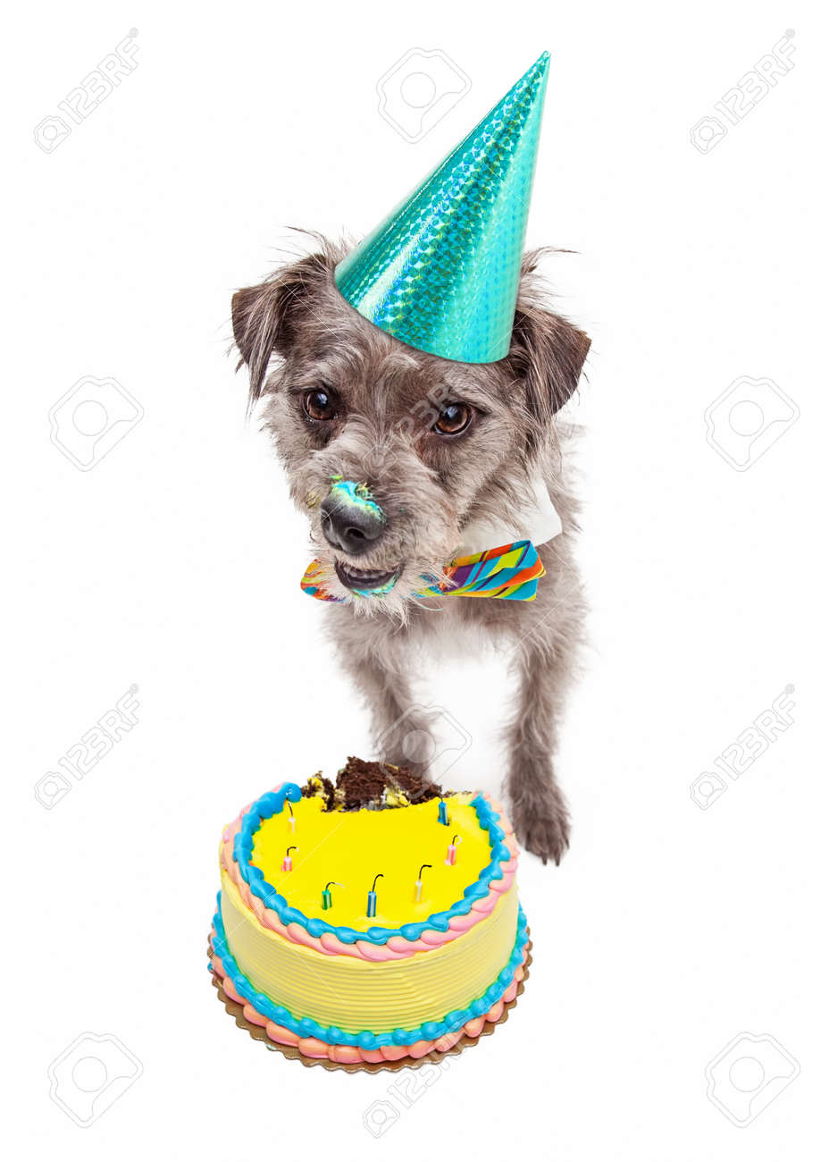 Cute Little Terrier Dog Wearing A Birthday Hat And Eating A Cake