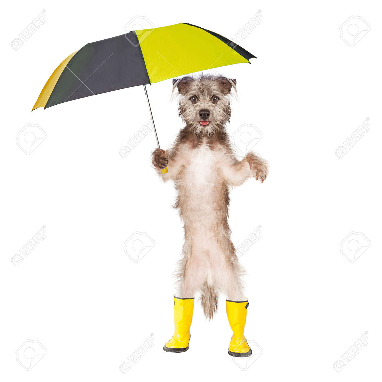 Cute Dog Standing Holding A Rain Umbrella And Wearing Yellow