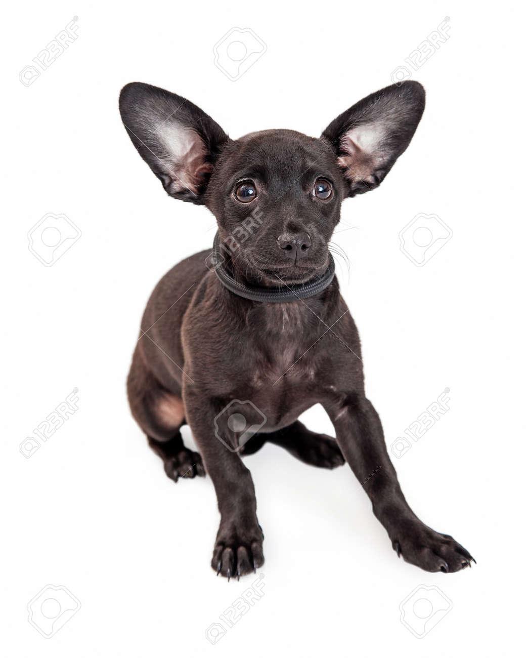 Immagini Stock Carino Chihuahua Razza Mista Due Mesi Di Età