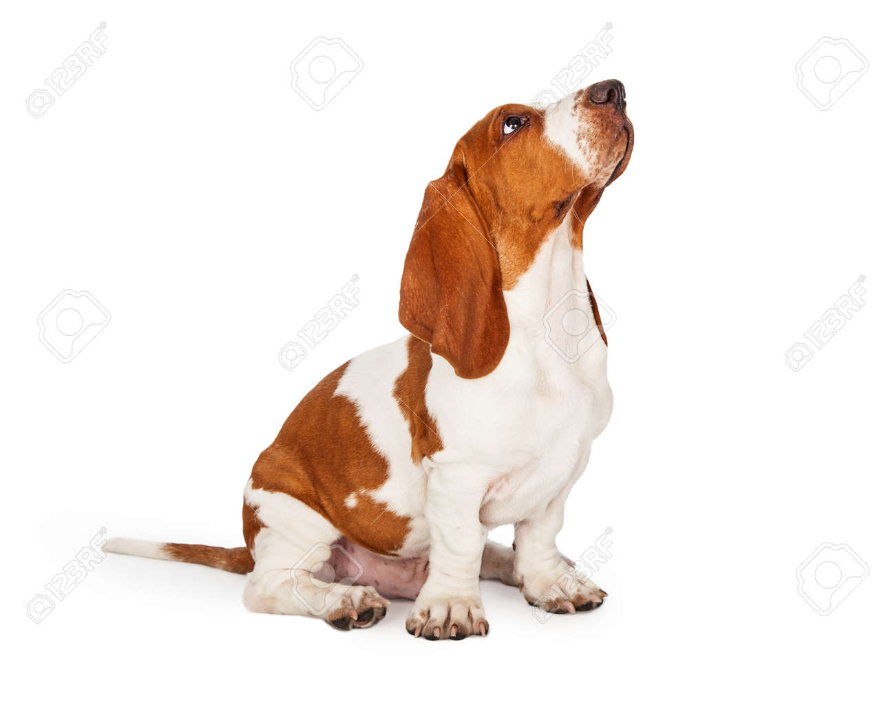 A Cute And Well Trained Basset Hound Puppy Dog Looking Up While