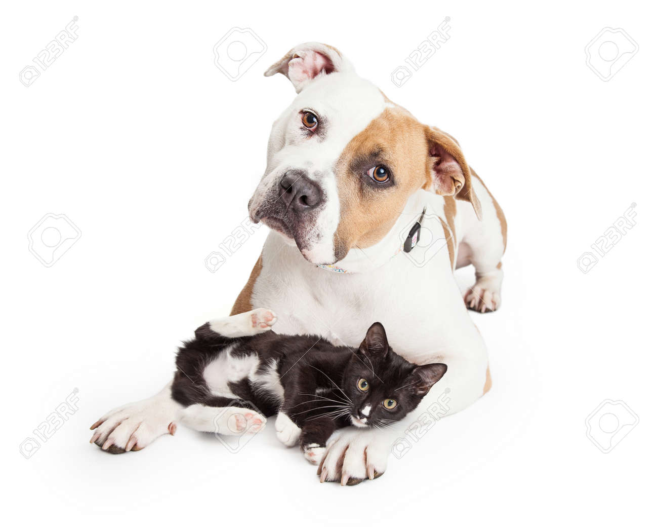 Beautiful and friendly Pit Bull dog with a playful little kitten laying across her legs - 46042186