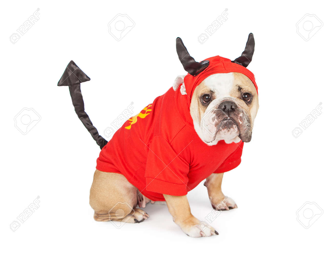 Funny Bulldog breed dog wearing a devil costume for Halloween - 47230362