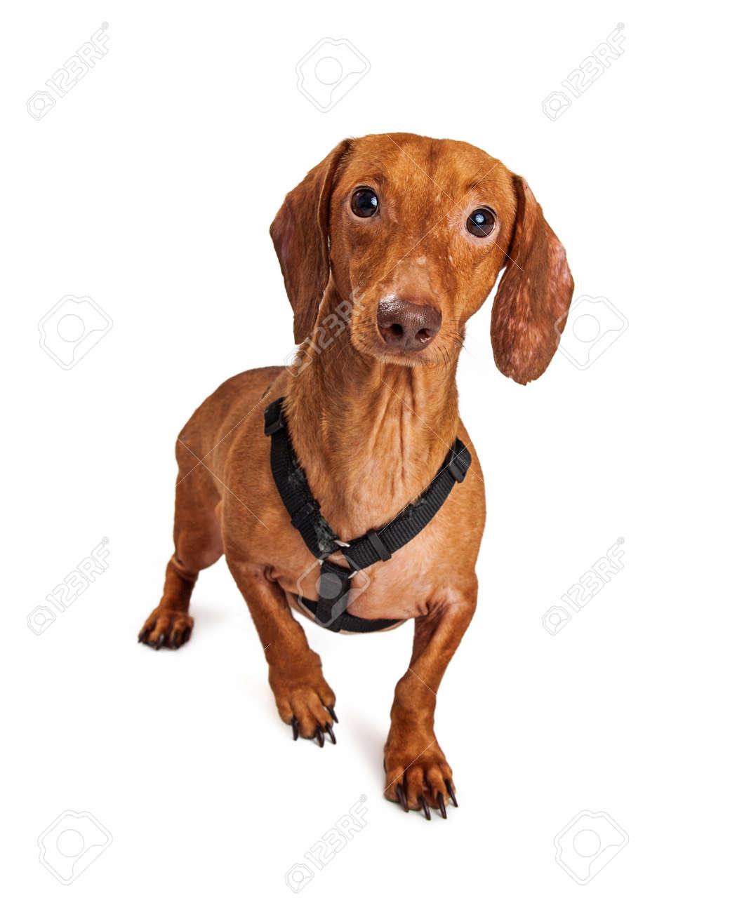 Immagini Stock Piccolo Cane Sveglio Bassotto Incrocio Con Indosso