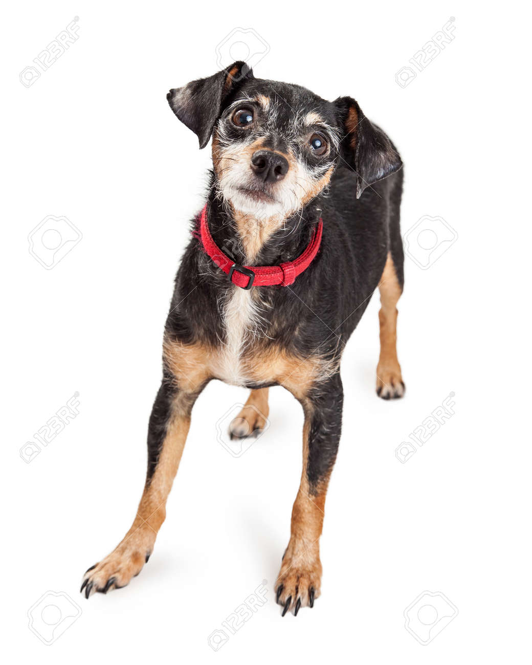 Dachshund Terrier Mixed Breed Little Dog With Black And Tan Wire ...
