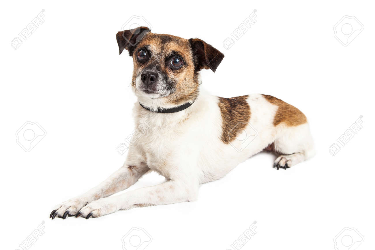 Adult Wire Hair Jack Russell Terrier And Chihuahua Mixed Breed
