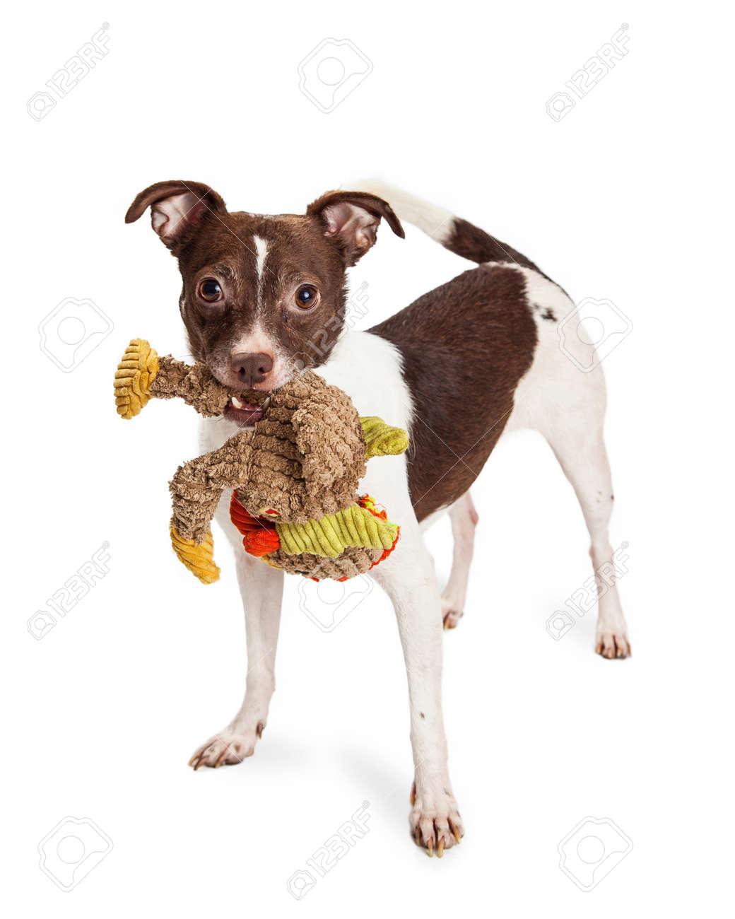 Leuke En Speelse Kleine Terriër Gemengde Rassenhond Met Bruine En ...