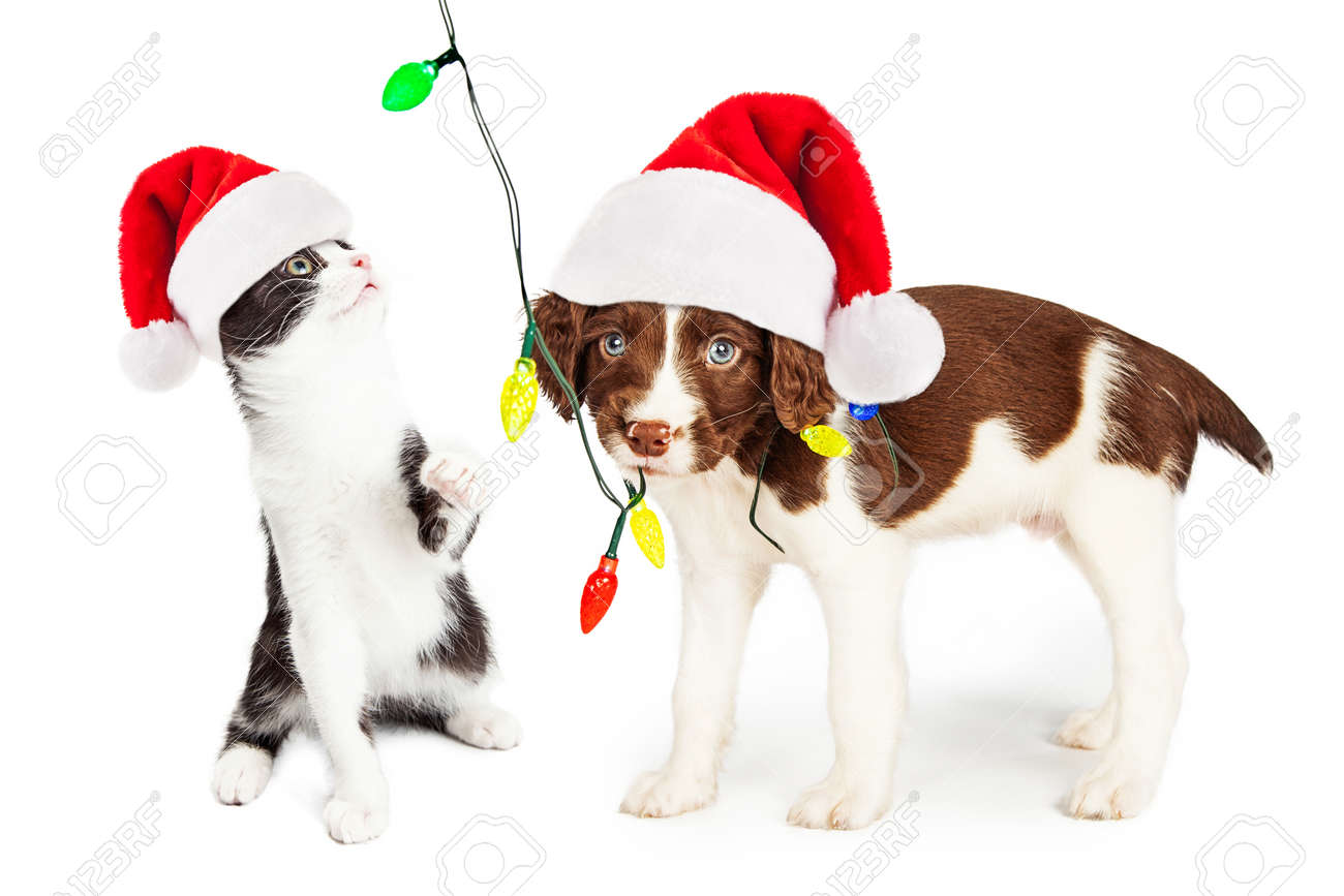 Cute and funny little puppy and kitten playing with a string of Christmas lights - 48429718