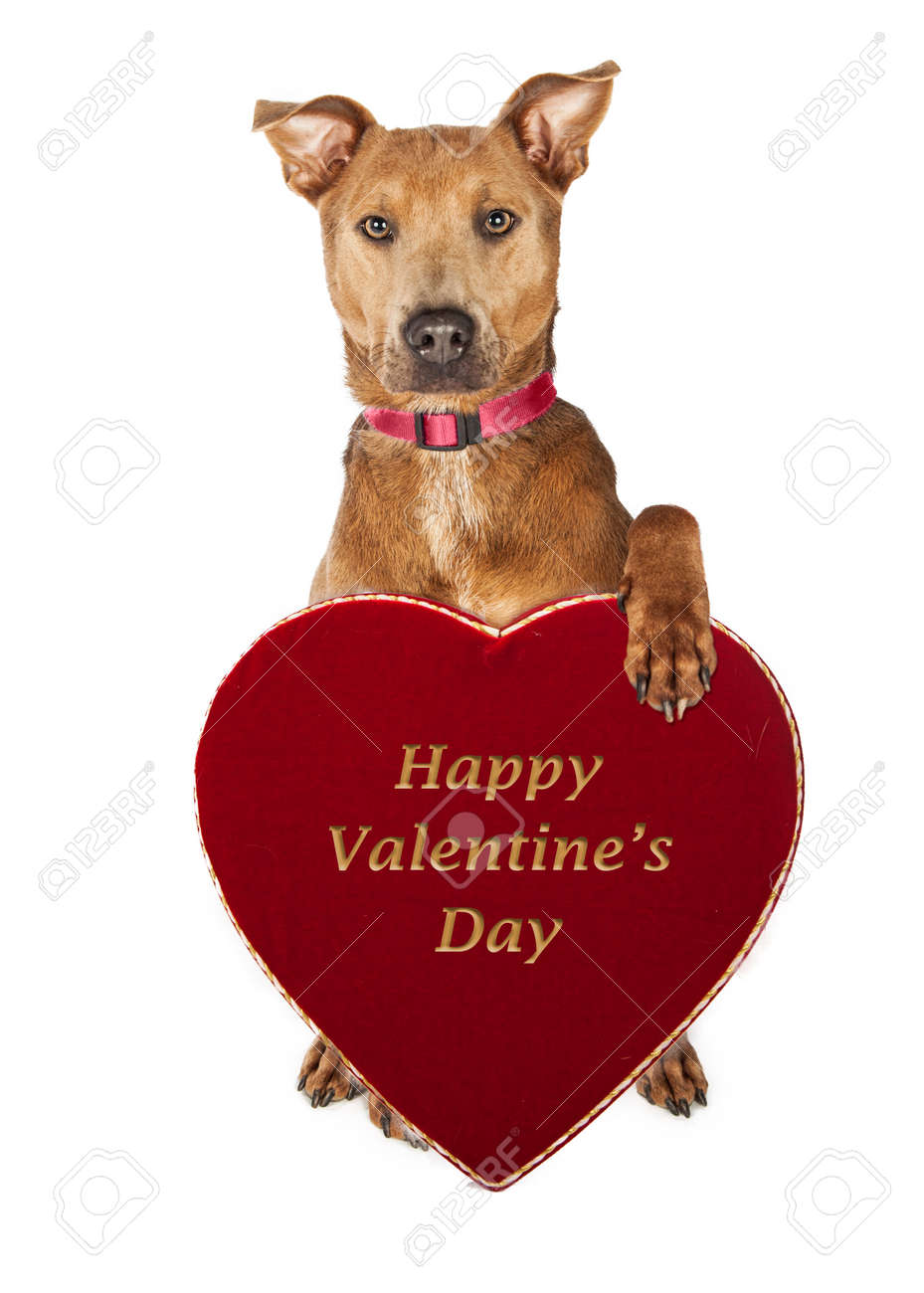 Adorable Large Mixed Breed Dog Holding A Happy Valentine S Day