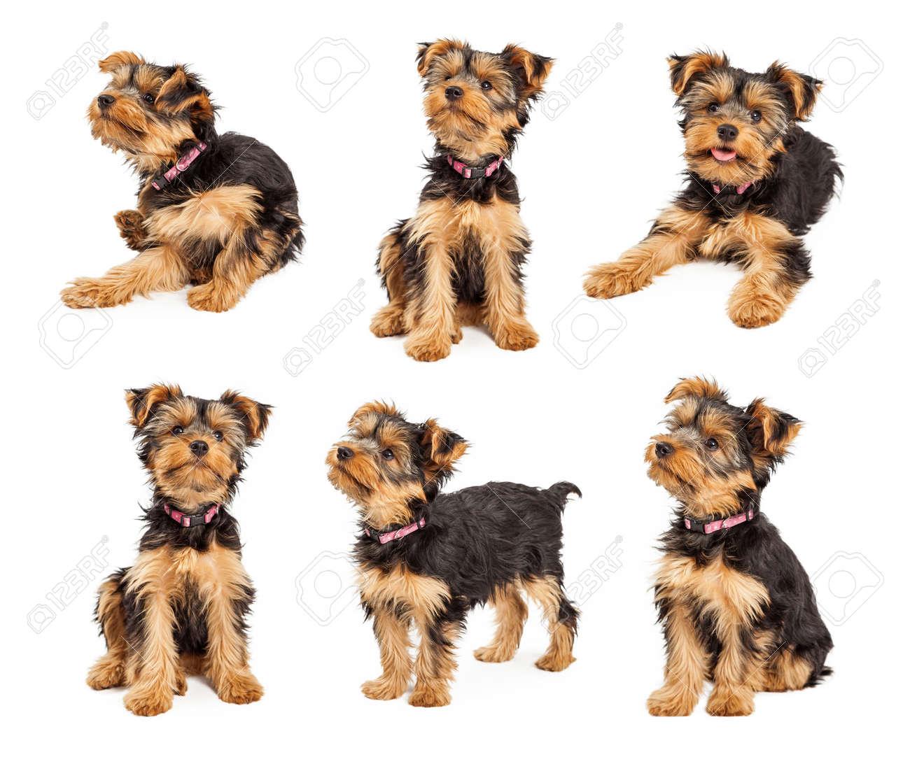 Serie De Imagenes De Una Pequena Taza De Te De Yorkshire Terrier