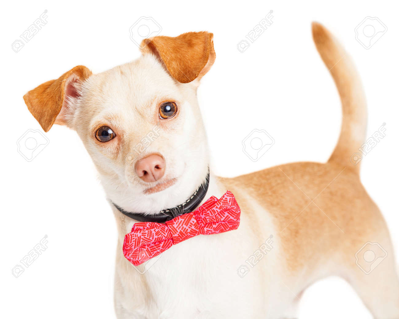 cute little tan color chihuahua dog wearing a pink color bow stock
