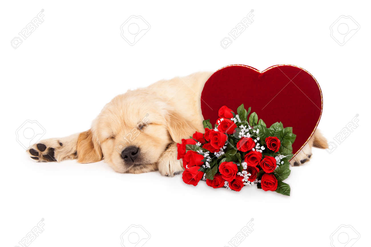 Simple Valentine Bow Adorable Dog - 51718838-a-cute-little-six-week-old-golden-retriever-puppy-sleeping-next-to-a-valentine-s-day-candy-heart-box  Best Photo Reference_2661  .jpg