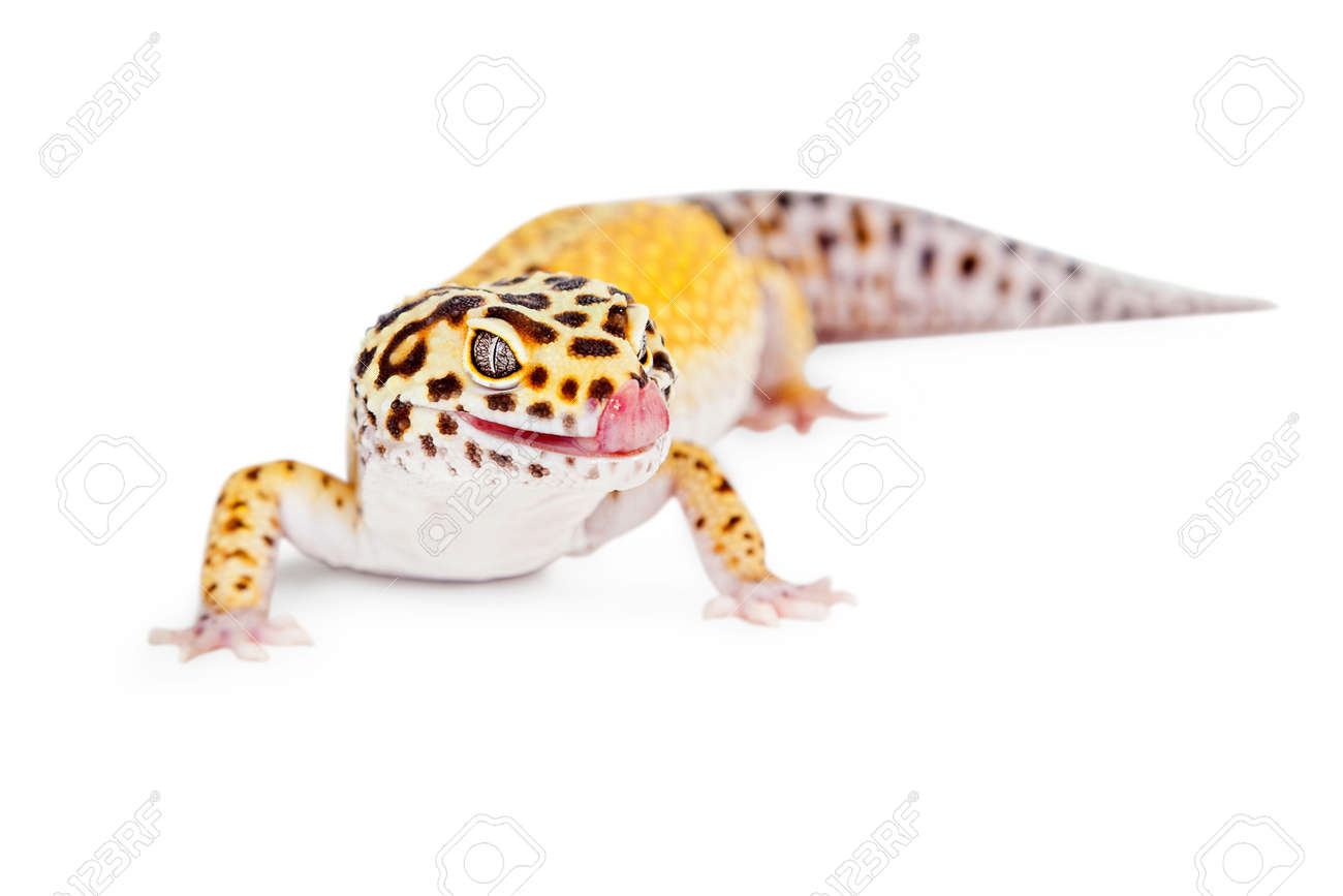 cute leopard gecko lizard with tongue out licking lips isolated