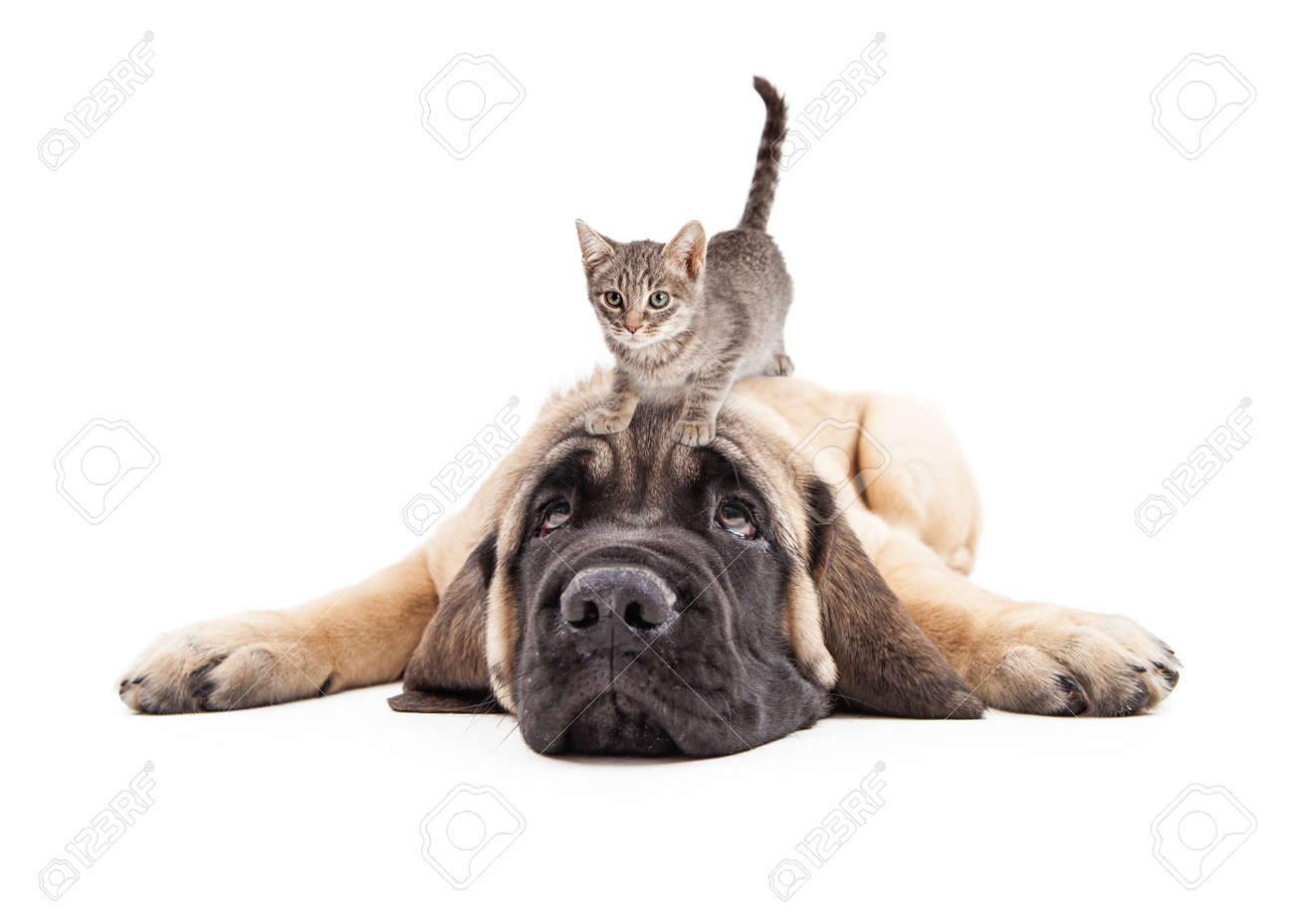 Funny photo of patient a Mastiff puppy laying down with a little kitten on his head - 53900867