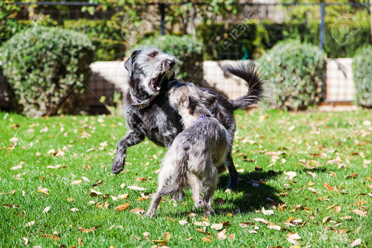 Two terrier dogs of different sizes play fighting in a green