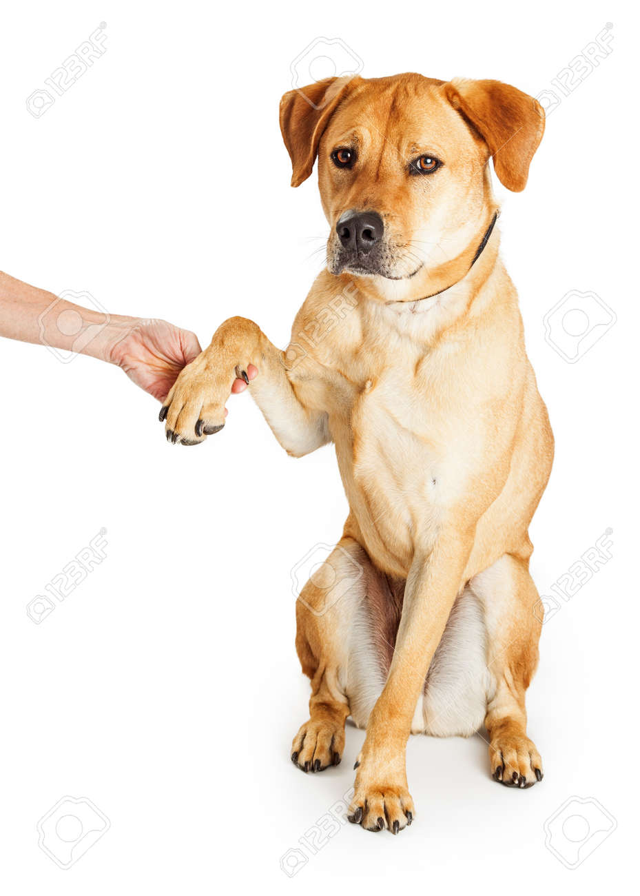 Obedient Yellow Labrador Retriever Mixed Breed Dog Raising Paw Stock Photo Picture And Royalty Free Image Image 55347021