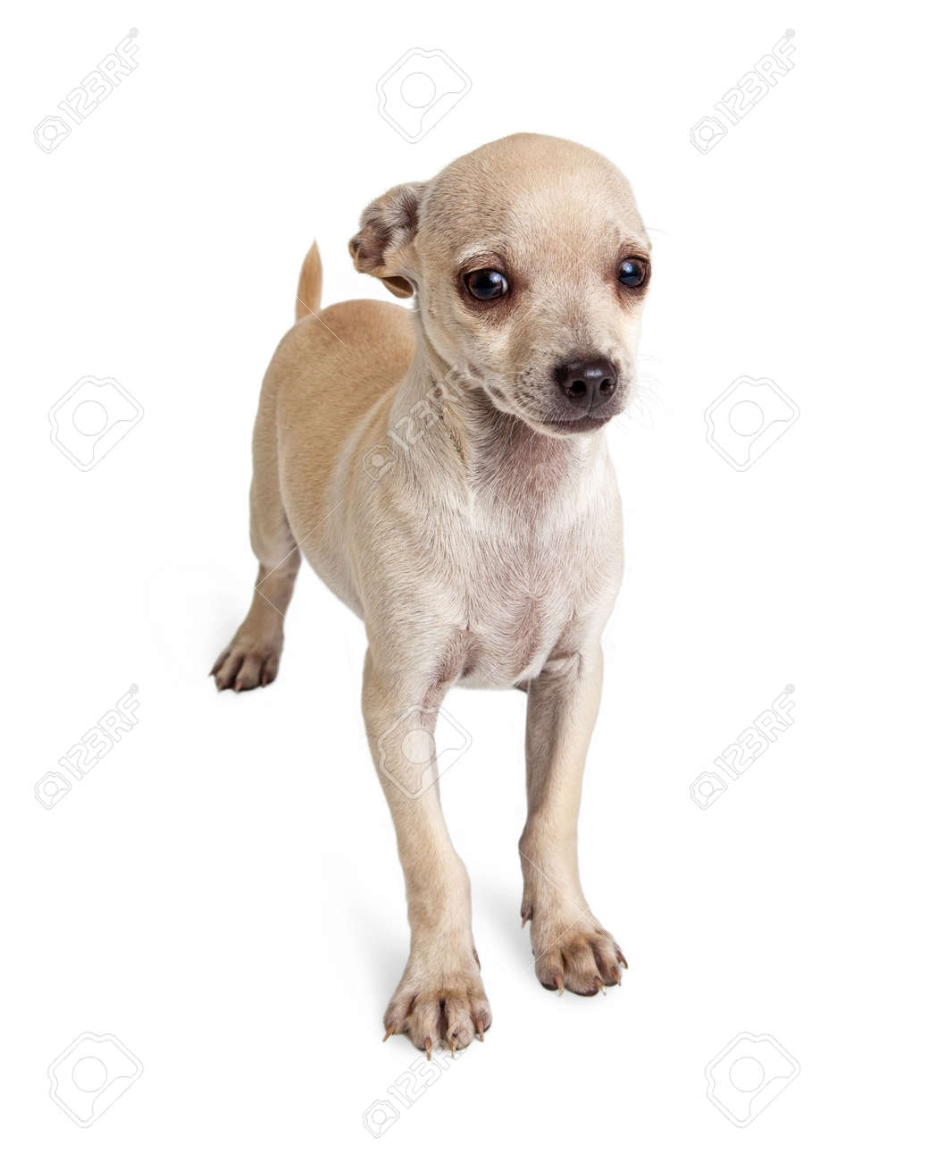 Timid Little White Color Chihuahua Mixed Breed Dog Standing Stock