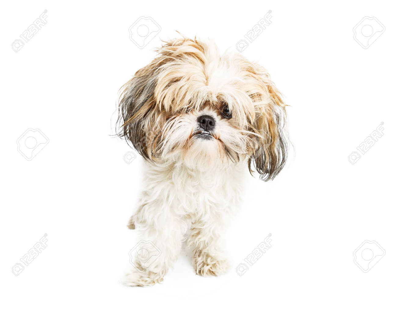 Cute Young Shih Tzu Crossbreed Dog With Messy Long Hair In Eyes