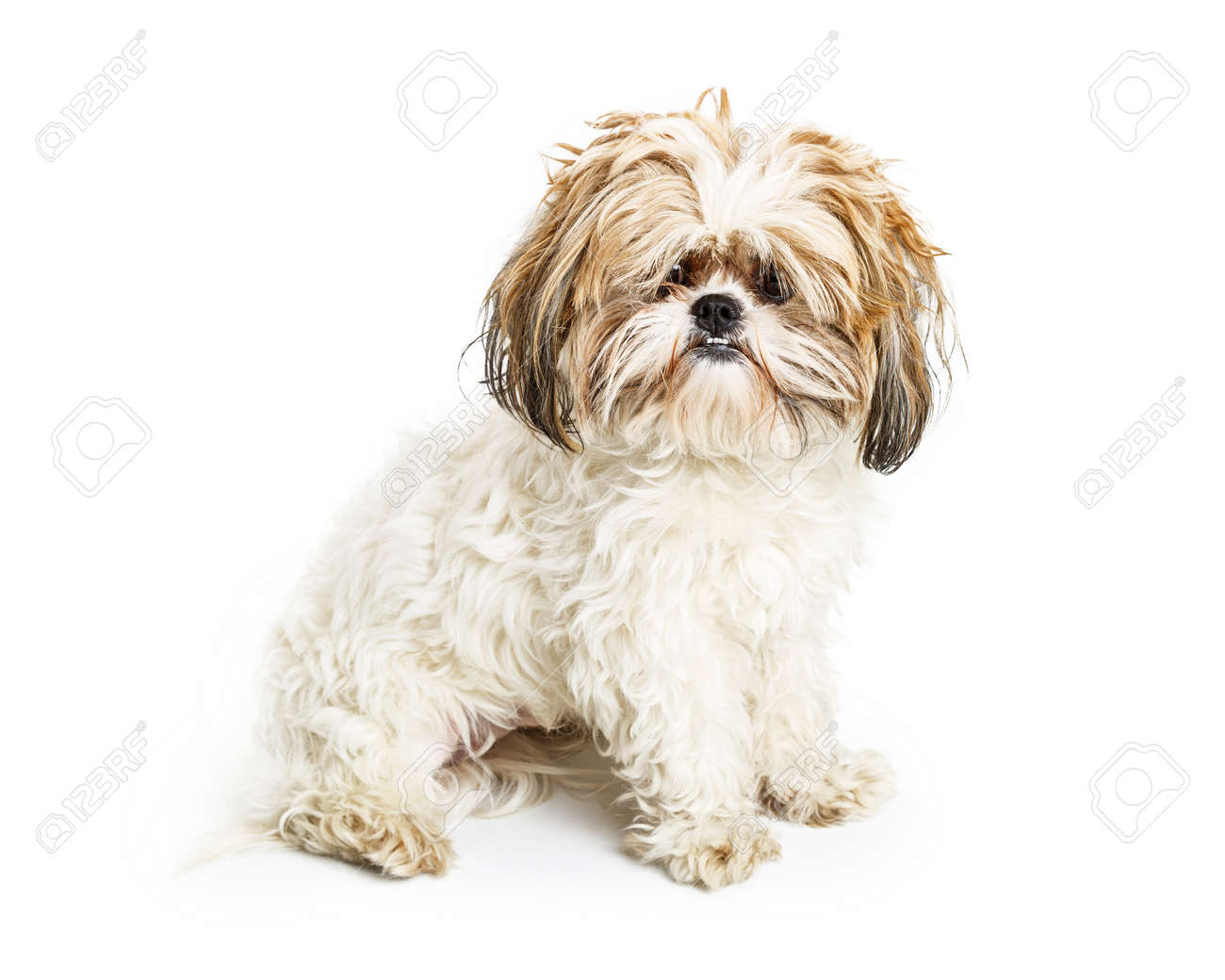 Shih Tzu Breed Dog With Long Messy Hair In Need Of Brushing Stock