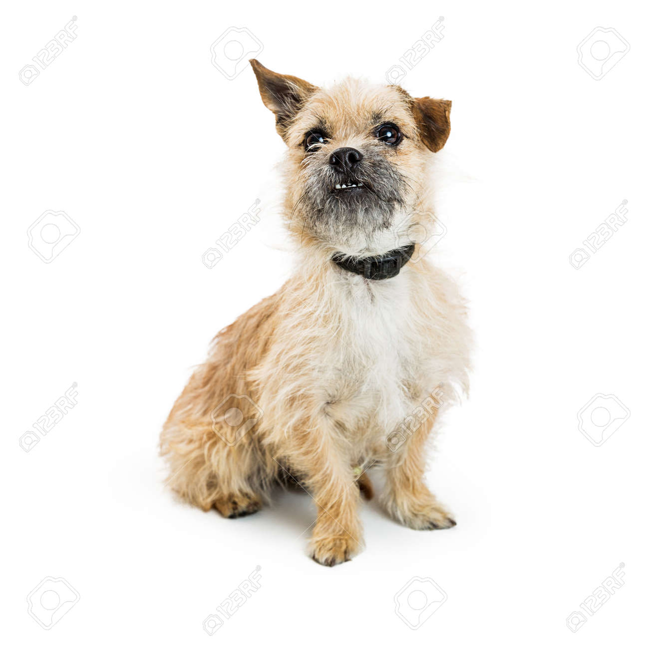 Cute Wire-haired Border Terrier Mixed Breed Dog Sitting On White ...