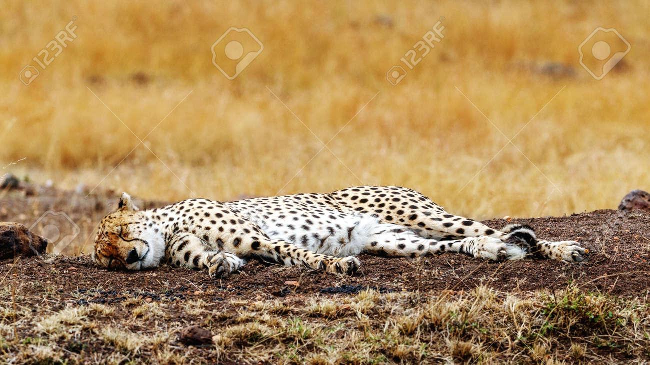 tall grass field beautiful cheetah cat lying down sleeping in tall grass field the masai mara of kenya cat lying down sleeping in tall grass field the stock