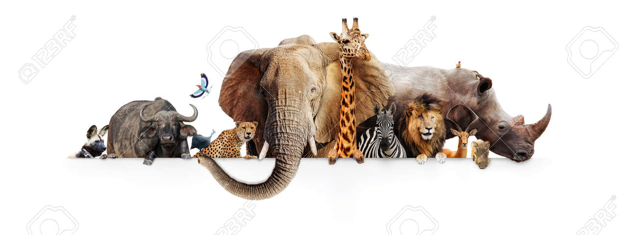 Row of African safari animals hanging their paws over a white banner. Image sized to fit a popular social media timeline photo placeholder - 92428814